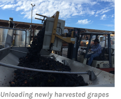 Unloading newly harvested grapes